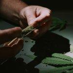 Neplodnosť – Majú fajčiari marihuany viac spermií? / Neplodnost.sk